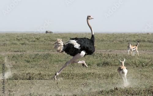 Staande foto Struisvogel Africa, Tanzania Serengeti National Park, ostrich