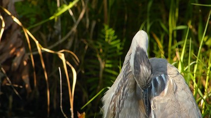 Portrait of Great blue heron (Ardea herodias) preening
