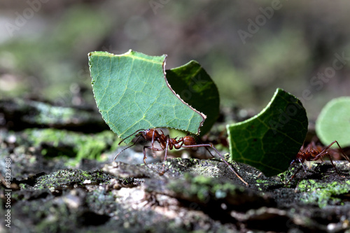 Staande foto Dragen leafcutter carrying green leaf with focus on the ant