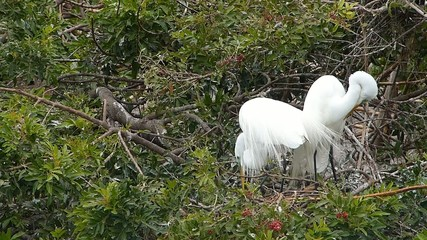 Great egret (Ardea alba) building nest