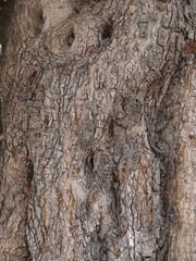 うろのある木の樹皮 豆科