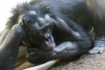 Bonobo - Chimpanzee
