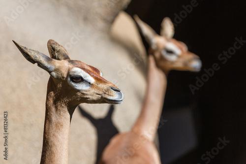 Plexiglas Antilope Southern Gerenuk