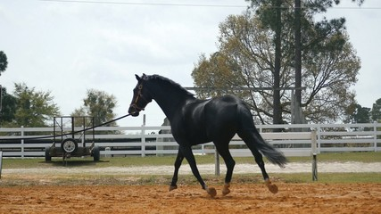 Large Black Horse Trotting On Dirt Track