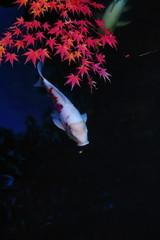 錦鯉と紅葉