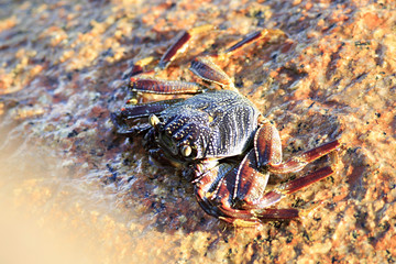 Crab on the granite boulders of Indian Ocean.