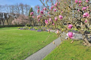 magnolia en fleurs dans parc