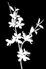 branch of blossoming white color sakura silhouette