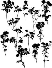 twelve black rose bushes isolated on white