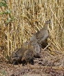 Grey partridge family in the field