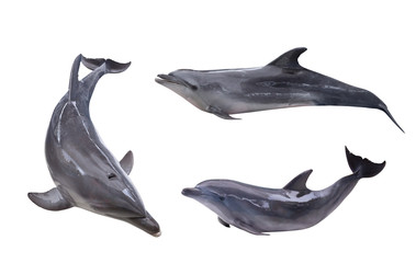collection of three isolated grey dolphins