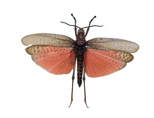 flying grasshopper with red wings