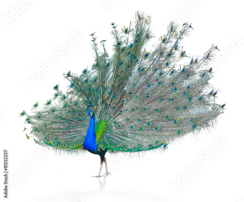 Foto op Plexiglas Pauw Male Indian Peacock displaying tail feathers Isolated On White