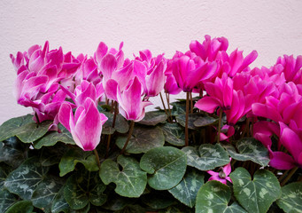 pink cyclamen over pink wall