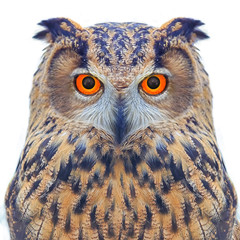 Owls look to the screen