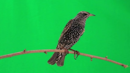 starling on  green screen