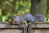 Squirrel eating peanuts
