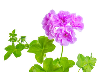 beautiful blooming purple geranium flower with green leaves is i