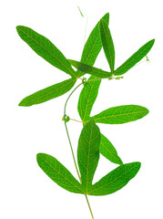 closeup of green passionflower twig with tendrils is isolated on