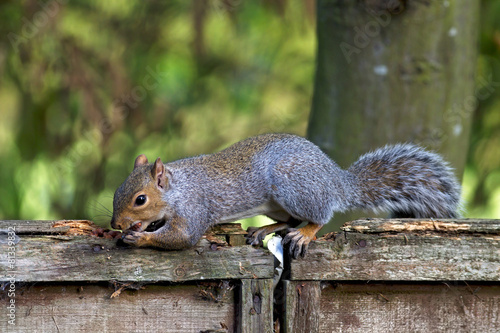 Spoed canvasdoek 2cm dik Eekhoorn Squirrel eating peanuts