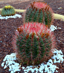 Round cactuses in the garden