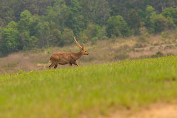 Male hog deer stand alone