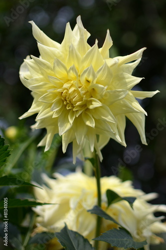 Foto op Aluminium Dahlia Beautiful yellow flower