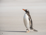 Gentoo penguin on the sand, Falkland Islands