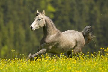 Arabisches Pferd Auf Blumenwiese