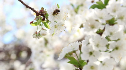 Bee on cherry tree blossoms, Spring.