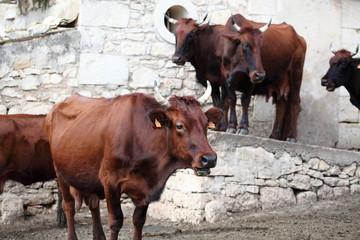 Mucca da latte di razza Modicana