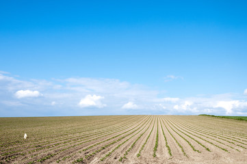 苗が植えられた畑と青空