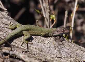 Eastern Green Lizard  in spring, Lacerta viridis