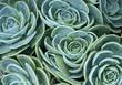 canvas print picture - succulent plant