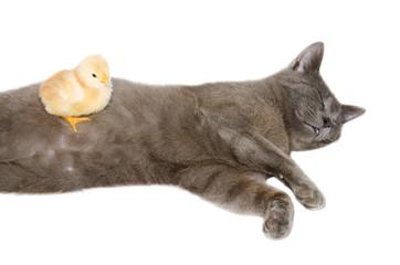 Gatto certosino dorme insieme ad un pulcino