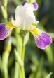 Iris of white and purple colours