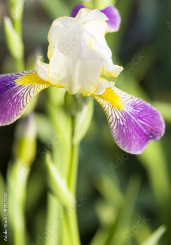 Foto op Canvas Iris Iris of white and purple colours