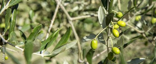 Aluminium Olijfboom Olive tree