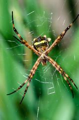 spider on spider web in Sao Paulo, Brazil