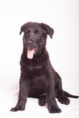 Black Shepherd puppy