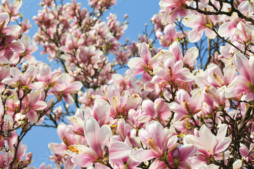 Fotobehang Magnolia Magnolientraum