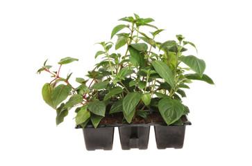 Fuscia plants
