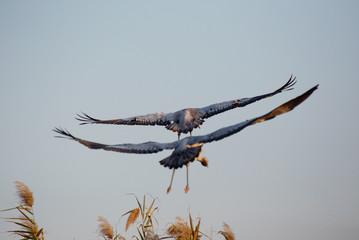 Flying grey cranes