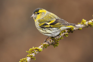 View Carduelis spinus perched on a branch in autumn