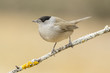 Blackcap (Sylvia atricapilla ), perched on a branch in the fores - 81365805