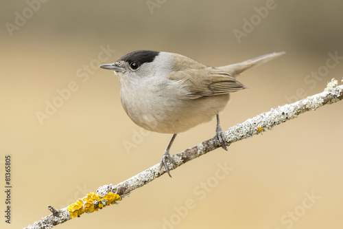 Fotobehang Vogel Blackcap (Sylvia atricapilla ), perched on a branch in the fores