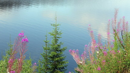 Pink flowers and fir trees on lake water background.