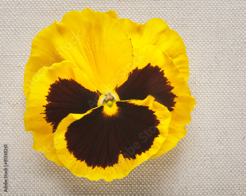 Foto op Canvas Pansies Yellow pansy