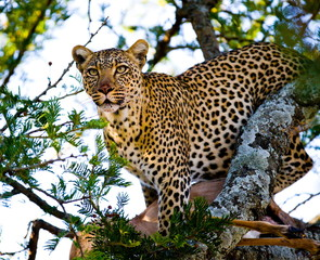 Leopard on the tree. Tanzania. Serengeti.