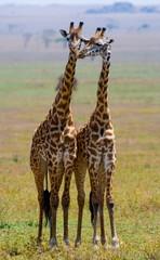 Two giraffe in savannah. Tanzania. Serengeti.